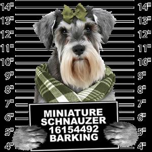 MINIATURE SCHNAUZER BARKING